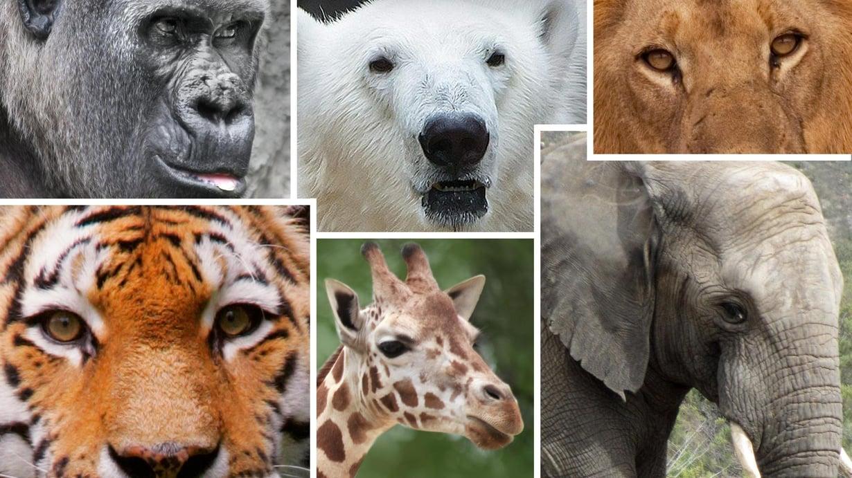 Kyselyn mukaan suosituimmat eläimet ovat tiikeri, leijona ja norsu. Kuva: Kimmo Taskinen / HS