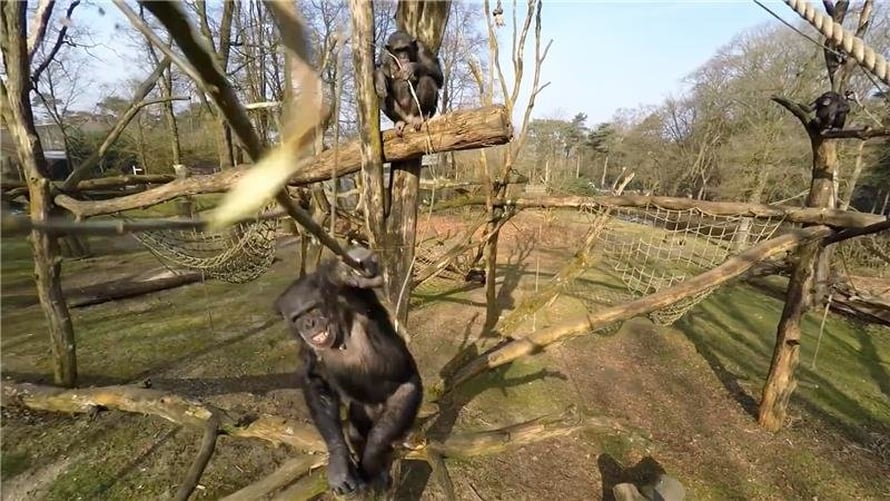 """Hollantilaisen eläintarhan simpanssi Tushi tuhosi kepillä minikopterin ja näytti nauttivan siitä.  Kuva: <span class=""""photographer"""">Royal Burgers Zoo</span>"""