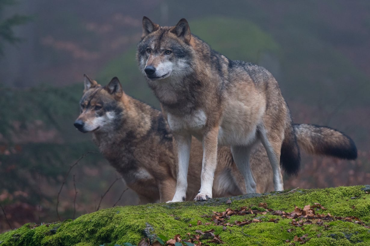 Sudesta tuli kesykoira jo jääkauden lopulla, mutta useimmat nykyiset koirarodut syntyivät vasta parisataa vuotta sitten. Kuva: Getty Images