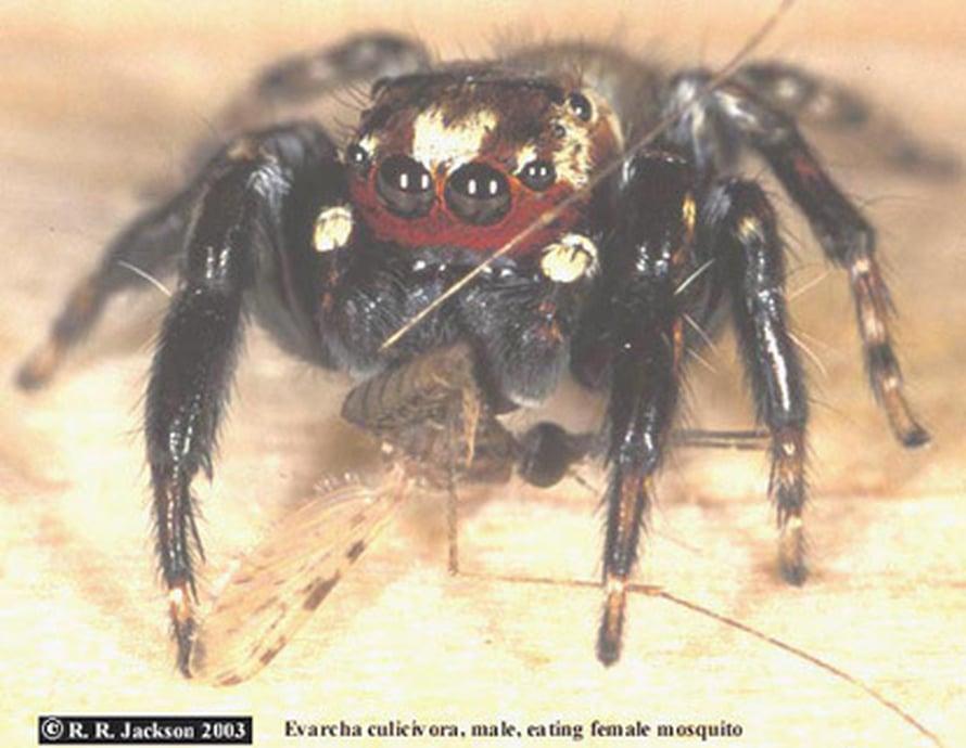 """Hyppyhämähäkki. Kuva: <span class=""""photographer"""">Robert R. Jackson</span>"""