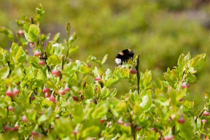 """Luonnonmarjat ovat kimalaisten pölytyksen varassa. Kuva: <span class=""""photographer"""">Lehtikuva</span>"""