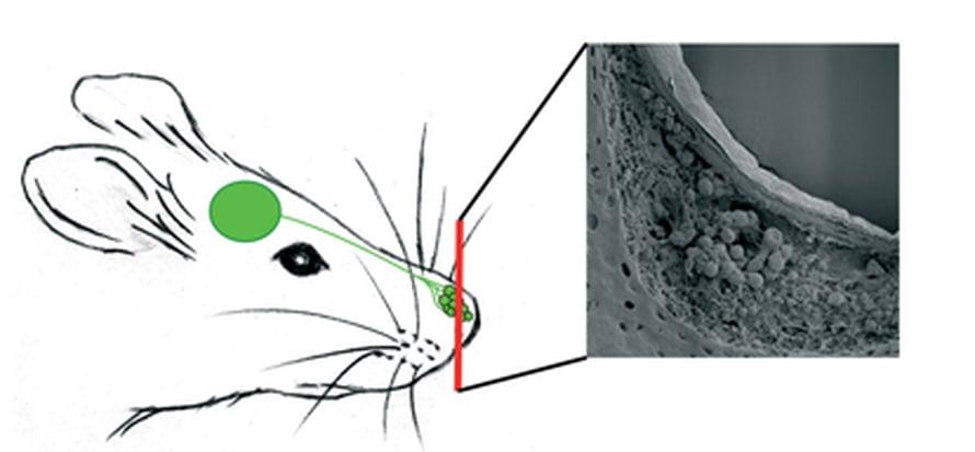 """Nenän kärjen solut aistivat feromoneja. Kuva: <span class=""""photographer"""">Science/AAAS</span>"""