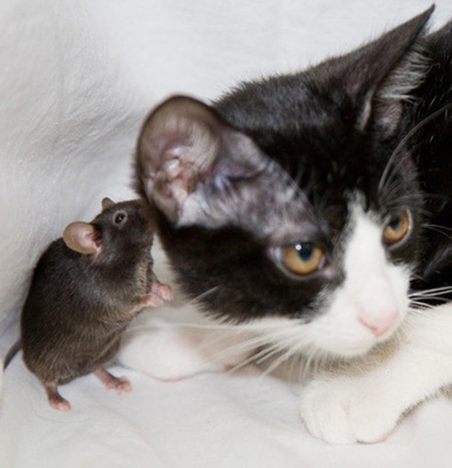 """Epänormaali hajuaisti tekee hiirestä kissanpennun leikkitoverin. Kuva: <span class=""""photographer"""">Ko and Reiko Kobayakawa</span>"""