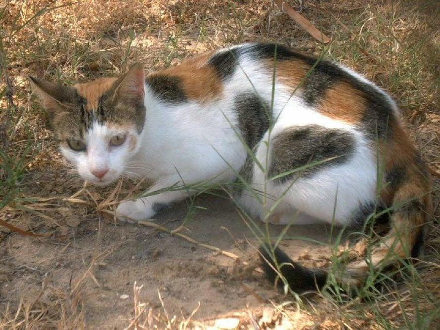 """Kissoissa on paljon tokoplasmaloista. Kuva: <span class=""""photographer"""">Wikimedia Commons</span>"""