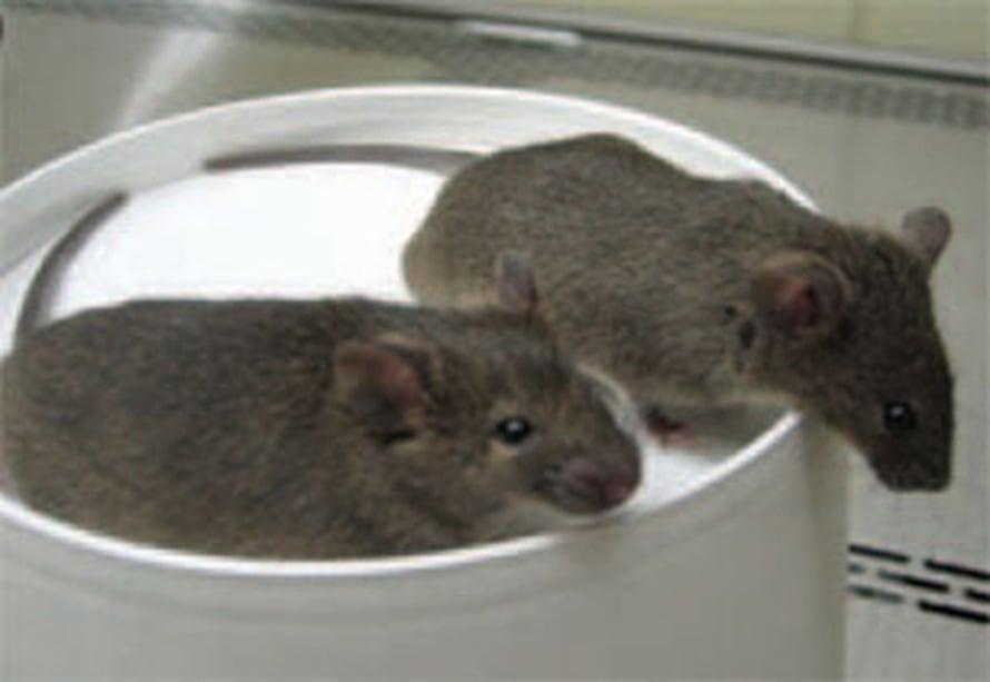 """Kuusiviikkoiset hiiriveljekset kloonattiin uroshiiren ihon kantasolusta. Kuva: <span class=""""photographer"""">National Academy of Sciences</span>"""