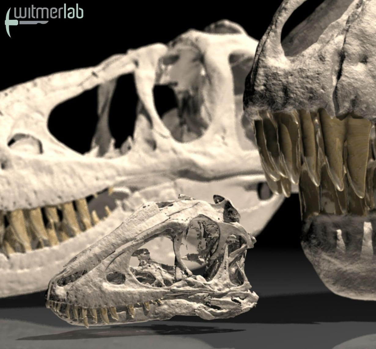 Parivuotiaan tarbosauruksen kallo on pieni aikuisen kallon rinnalla.