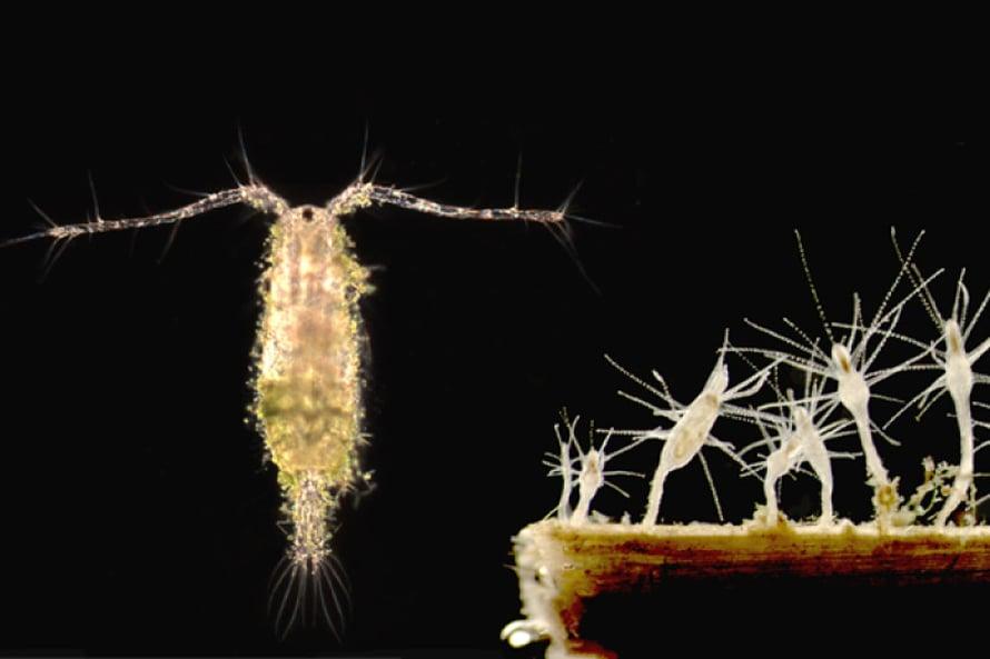 Vasemmalla: Acartia-suvun hankajalkainen. Oikealla: Kaspianpolyyppi Cordylophora caspia muodostaa yhdyskuntia vesikasvien ja kivien päälle.