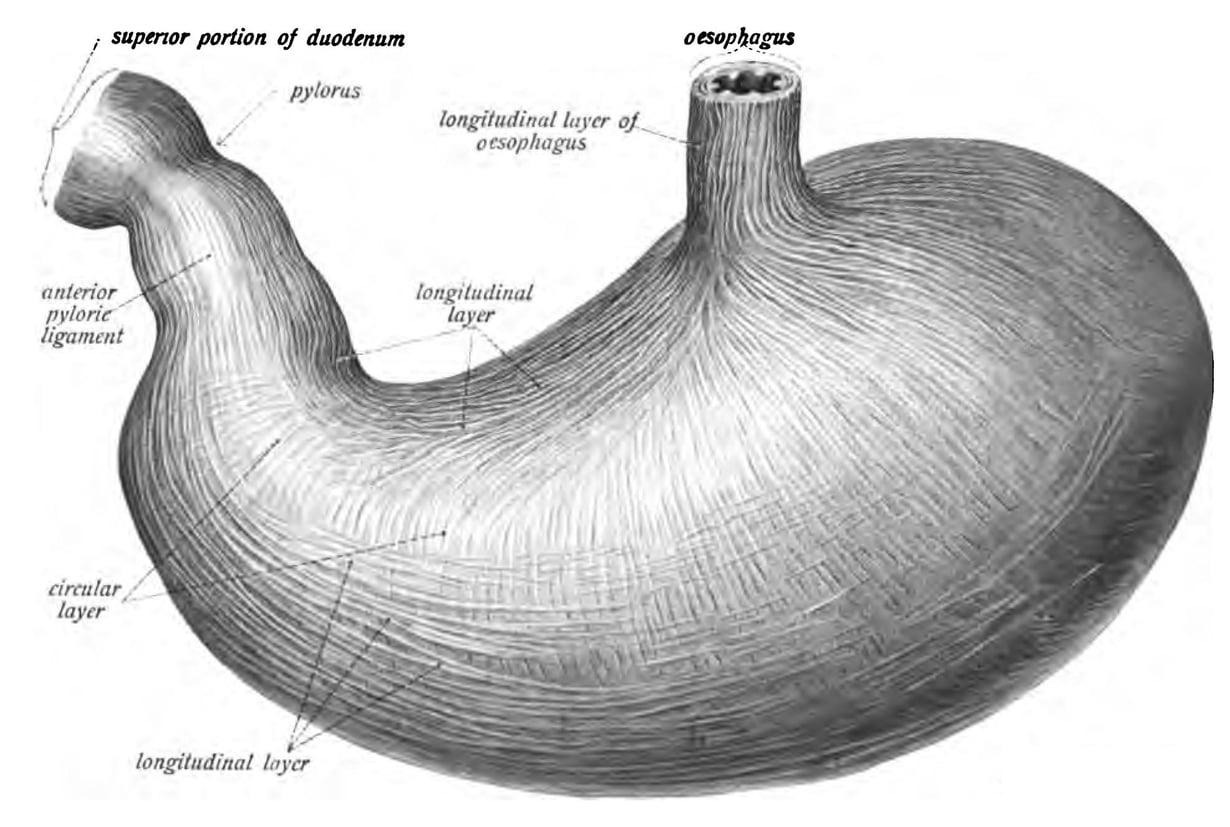 Ihmisen mahalaukussa on vahvasti happoa. Kuva: Sobotta's Atlas and Text-book of Human Anatomy 1906