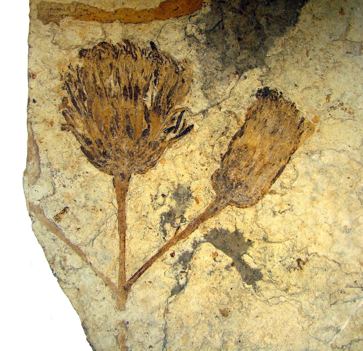 Tämä auringonkukan ja päivänkakkaran muinainen sukulainen kukki Patagoniassa noin 50 miljoonaa vuotta sitten.