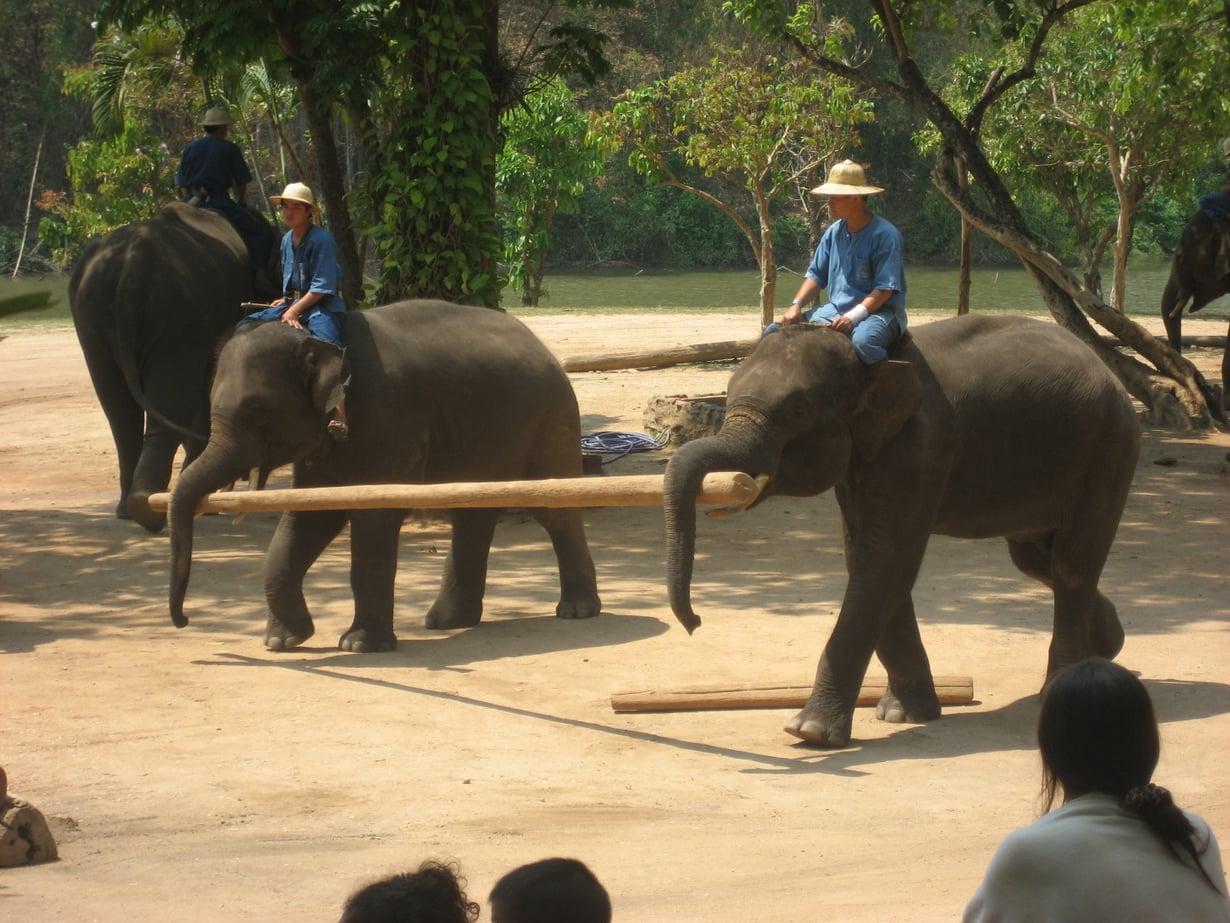 Lampangin norsut ovat fiksuja.
