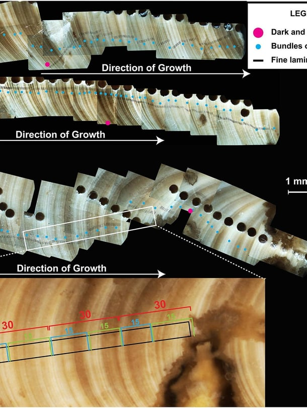 """Simpukan läpileikkaus ja sen kerrokset näyttävät tutkijalle, kuinka simpukka eli ja kasvoi vuodenaikojen mukaan 70 miljoonaa vuotta sitten. Nuoli näyttää kasvun suunnan. Punaiset pisteet näyttävät kasvun yhden vuoden aikana. Siniset pisteet kuvaavat kahden viikon jaksoja. Kuva: <span class=""""photographer"""">AGU</span>"""