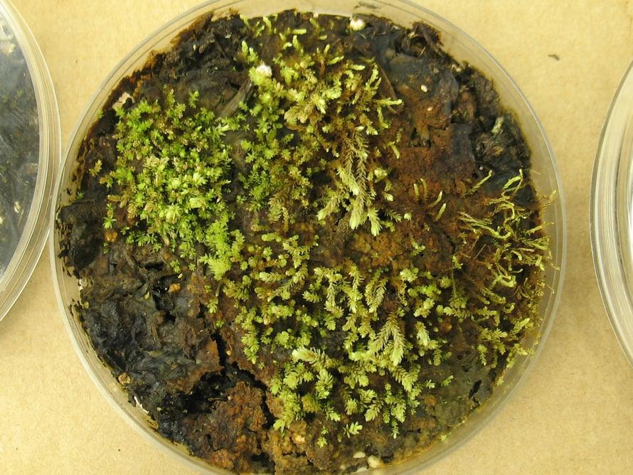 Jäätikön 400 vuotta peittämistä sammaleista lähti laboratoriossa kasvuun muun muassa huopasammaleisiin kuuluva Aulacomnium turgidum.