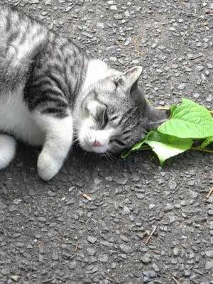 """Kissa hieroo itseään mantsurianlaikkuköynnöksen lehtiin. Kuten kissanmintussa, siinäkin on kissoja kiehtovaa yhdistettä nepetalaktonia. Kuva: <span class=""""photographer"""">Masao Miyazaki ja Reiko Uenoyama / Iwate University</span>"""
