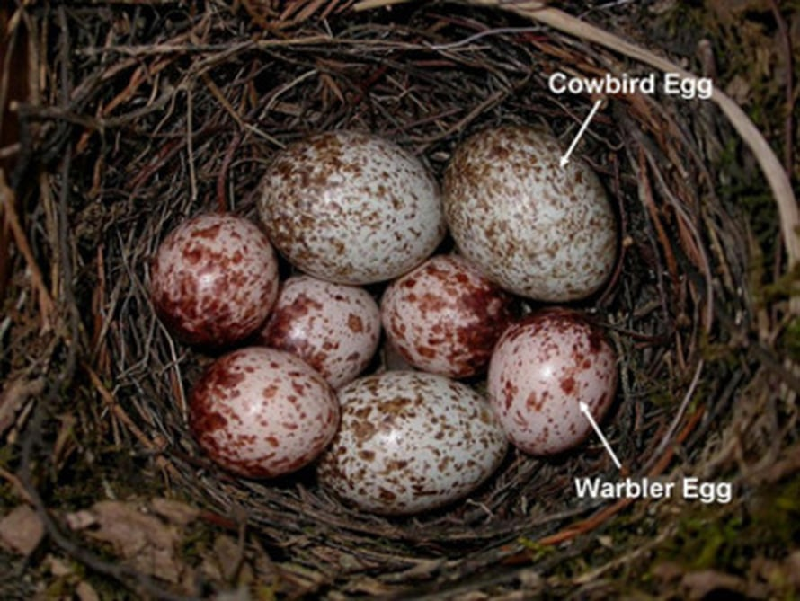 """Isot ruskeat munat lehmäturpiaalin, pienemmät kolokerttulin. Kuva: <span class=""""photographer"""">Proceedings of National Academy of Sciences.</span>"""