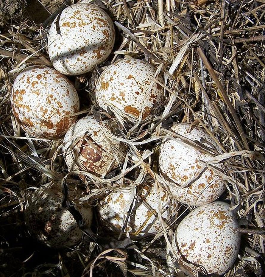 Viiriäisen munat eivät päädy niin herkästi rotan suuhun, jos haju on sille ennalta tuttu.
