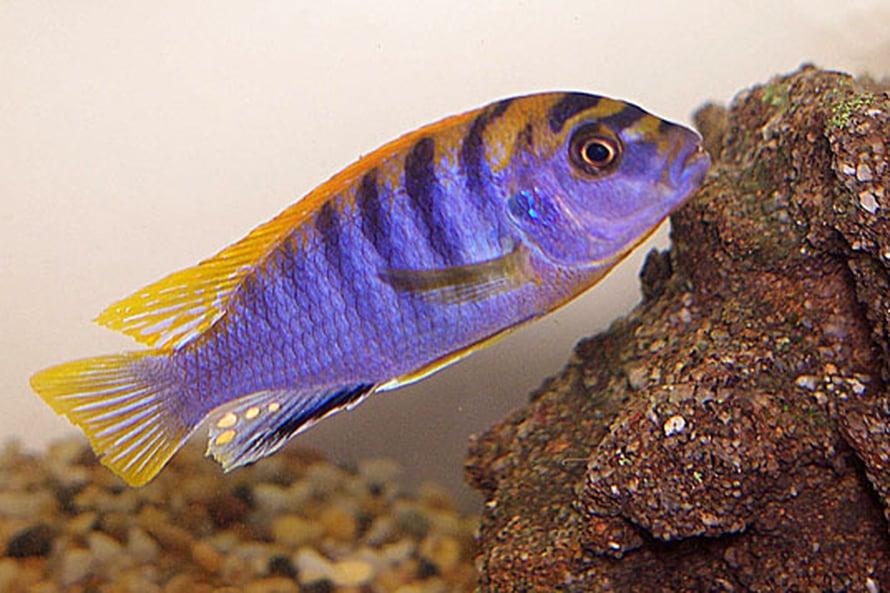"""Huomaa hienot munatäplät kalan peräevässä. Kuva: <span class=""""photographer"""">Gerard Delany 2006/Wikimedia Commons</span>"""
