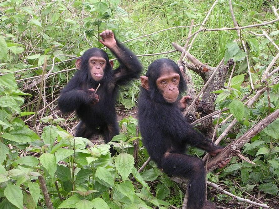 """Simpanssit – sukulaisia, mutta eivät esivanhempiamme. Kuva: <span class=""""photographer"""">Delphine Bruyere.</span>"""