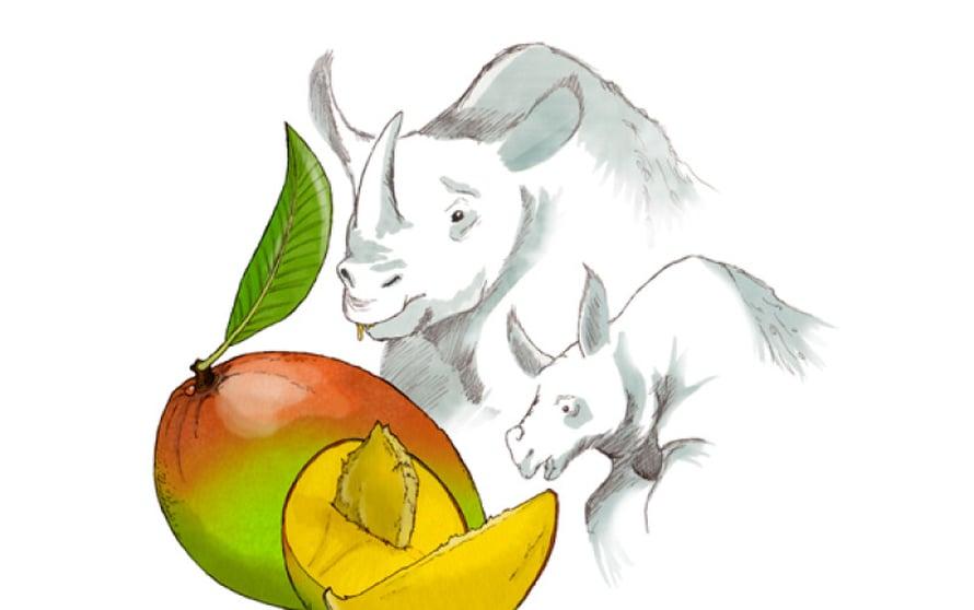 Mango on onnekas, sillä intiansarvikuono syö sitä yhä ja siirtää siemeniä uusille kasvupaikoille.