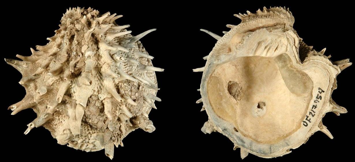 Arcinella cornuta -simpukka kuului tutkimusaineistoon. Kuva: Neogene Atlas of Ancient Life / University of Kansas