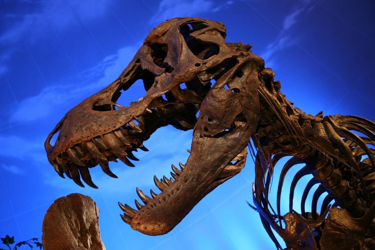 Dinosaurusten kuninkaan leuat olivat paitsi maailman vahvimmat, myös matelijoille poikkeukselliset. Kuva: Daniel Schwen/ Wikimedia Commons.