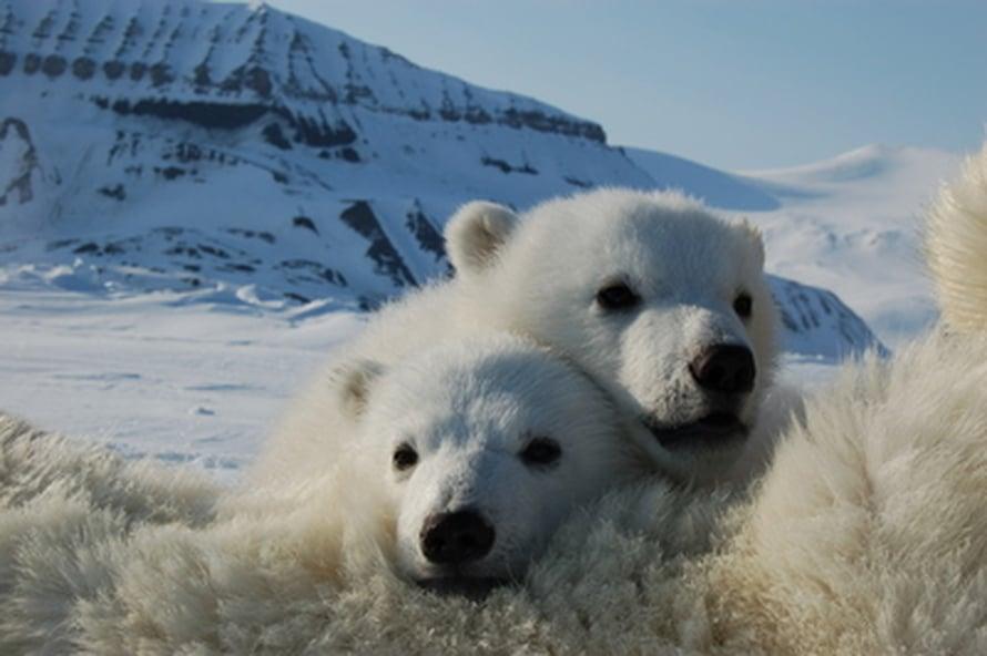 Jääkarhunpoikasia Huippuvuorilla.