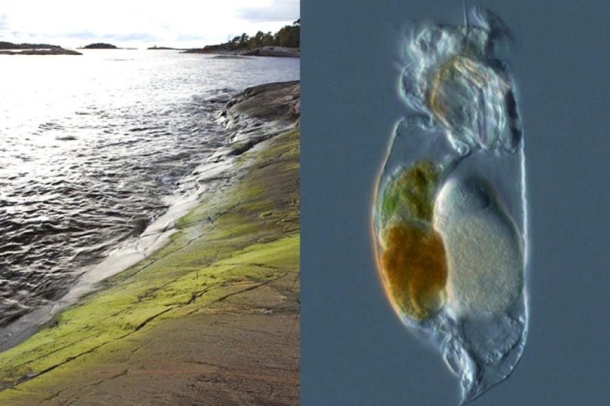 Tvärminnen rantakalliolla  kasvaa yksivuotisten levien yhteisö, joka jatkuu vesirajan alle. Näinkin karulta rannalta jää haaviin monimuotoinen joukko mikroskooppisen pieniä eliöitä, esimerkiksi rataseläin Synchaeta baltica.