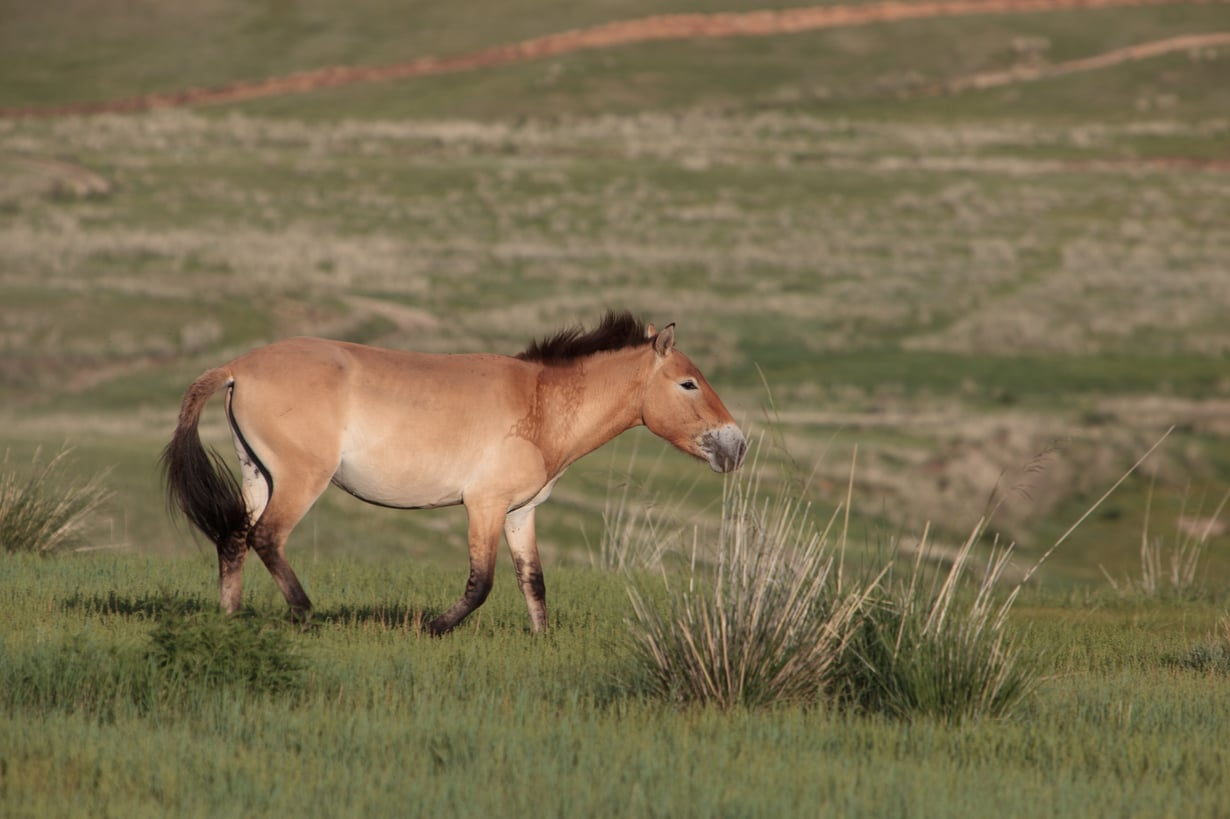 Przewalskinhevonen Mongoliassa. Kuva: Ludovic Hirlimann, Wikimedia Commons