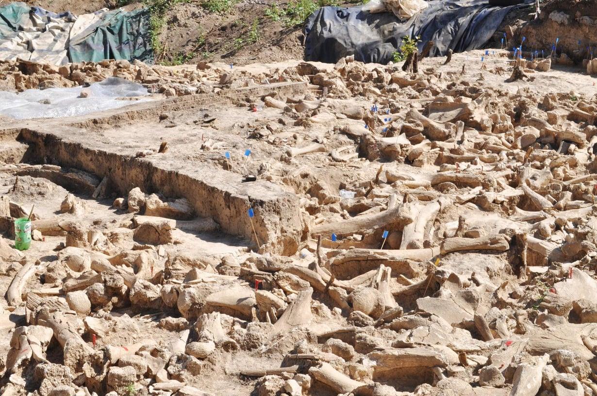 Valtaosa venäläiseltä kaivaukselta löytyneistä luista on mammuttien. Niistä tehtiin aarin kokoisen rakennelman seiniä. Kuva: Alex Pryor