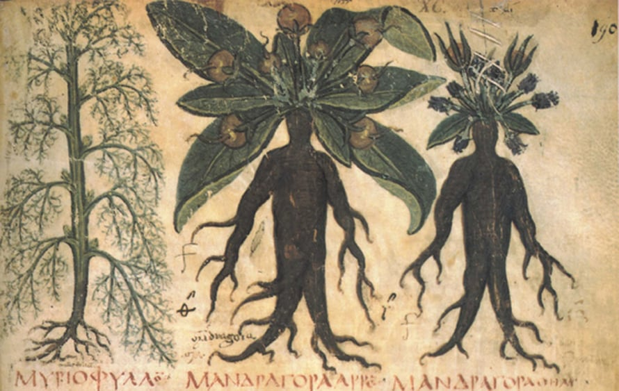 Kuva Dioscorideksen Materia medicasta.