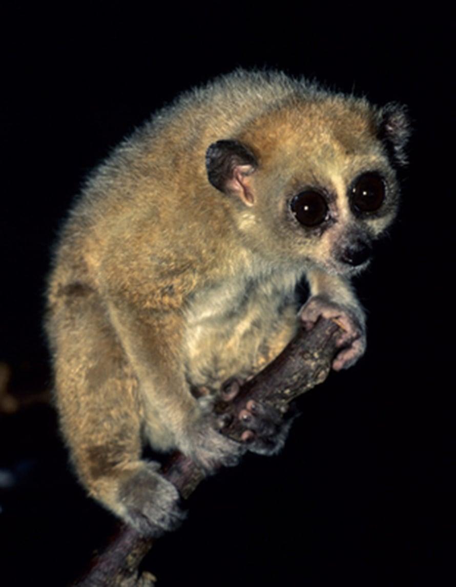 "Pikkulori <i>Nycticebus pygmaeus</i>. Kuva: <span class=""photographer"">David Haring/Duke University Lemur Center</span>"