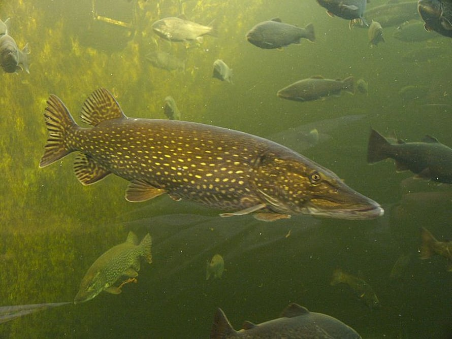 """185 miljoonas esivanhempamme oli kala. Kuvan kalat eivät liity tapaukseen, sillä he ovat kotkalaisia serkkujamme. Kuva: <span class=""""photographer"""">Georg Mittenecker.</span>"""