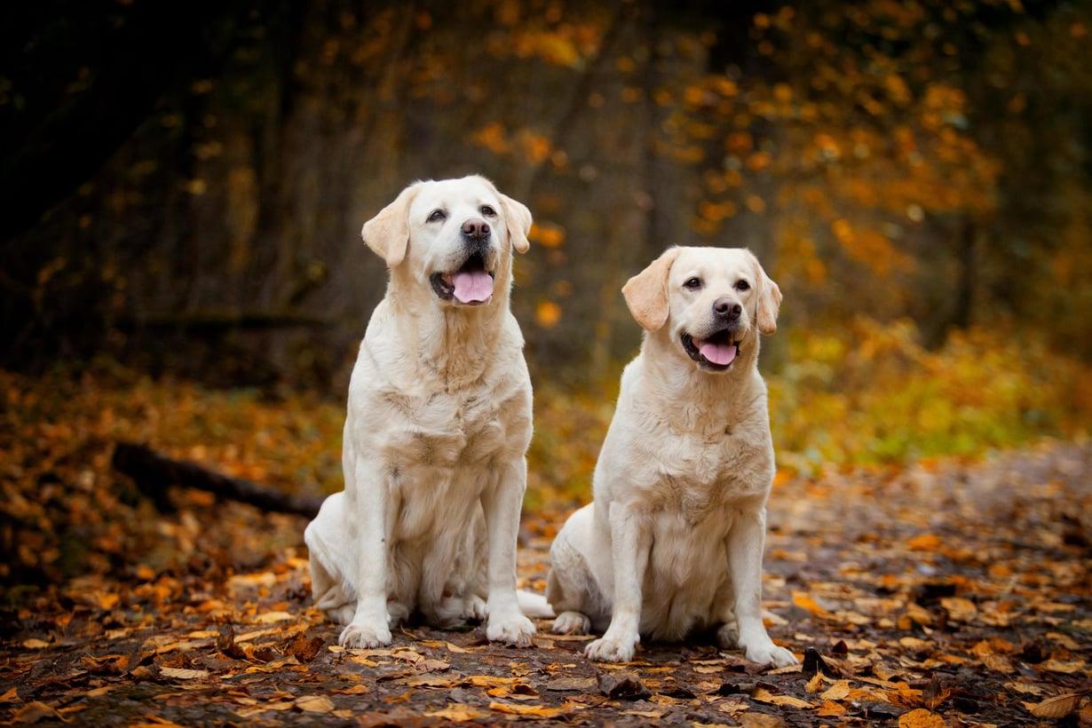 Labradorinnoutajien epigeneettinen kello myötäilee niiden kehitysvaiheita. Kuva: Shutterstock