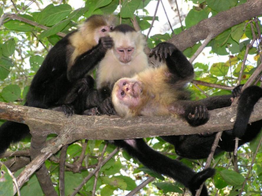"""Johtava koiras Pablo lekottelee naaraan ja tyttärensä kanssa Costa Rican sademetsässä. Kuva: <span class=""""photographer"""">Susan Perry.</span>"""