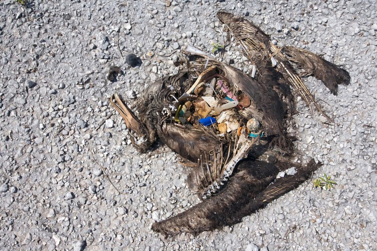 Kuolleen albatrossin mahalaukusta paljastuu muoviroskaa. Kuva: Paul & Paveena Mckenzie Visuals / Science Photo Library