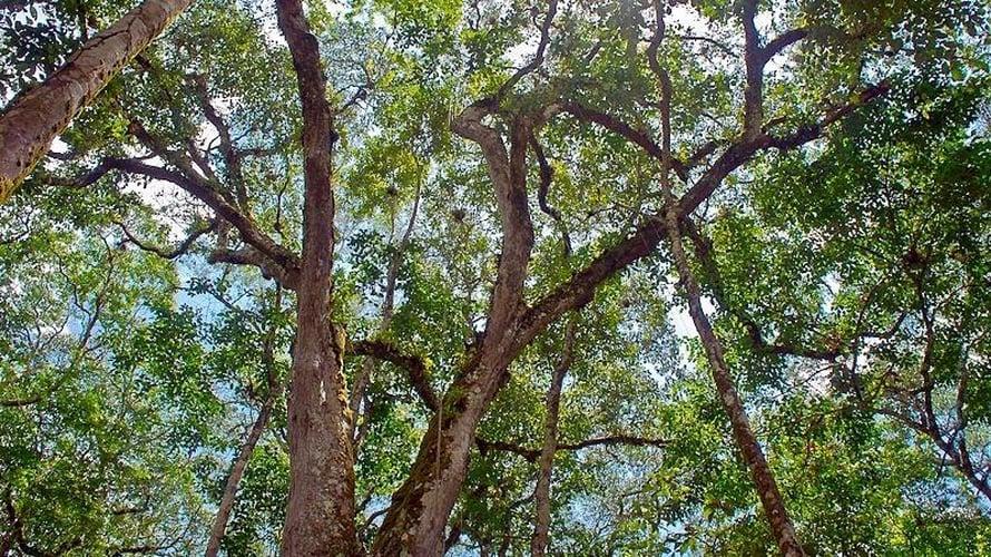 """Tuoreen tutkimuksen mukaan Brasilian Amazonasin latvuskerros alkaa yhteyttää kiivaasti kuivan kauden aikaan. Kuva: <span class=""""photographer"""">Lucia Barreiros da Silva / Wikimedia commons</span>"""