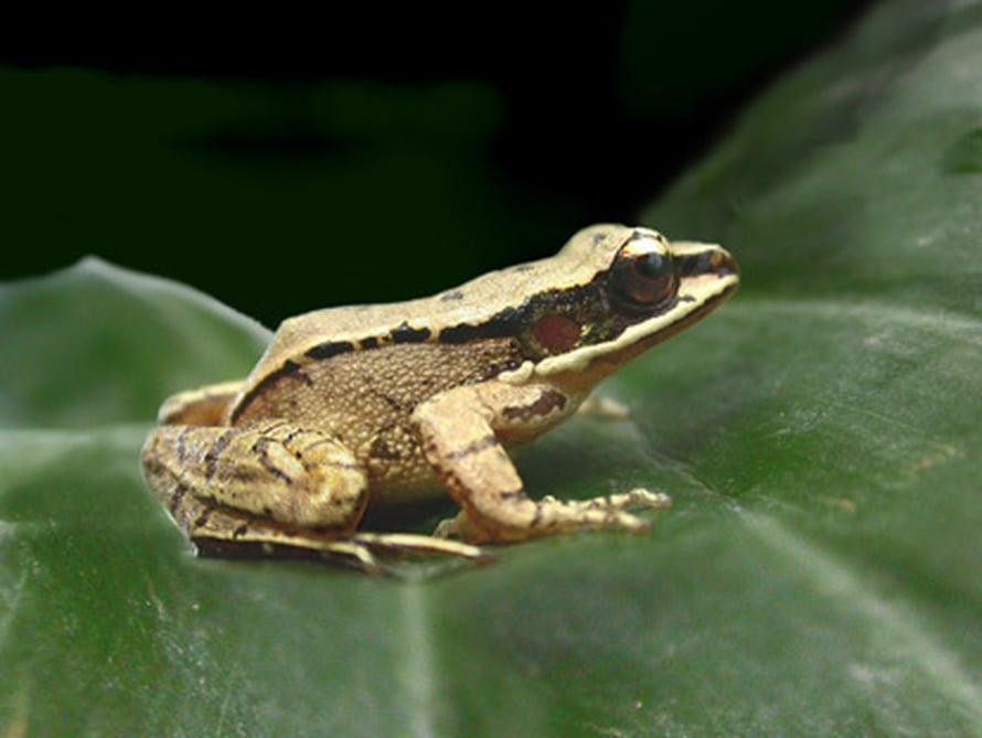 """Kiinalainen sammakko <i>Amolops tormotus</i> laulaa kuin lintu. Kuva: <span class=""""photographer"""">Albert Feng</span>"""