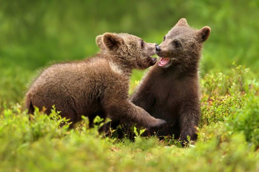 """Nisäkästutkija laski karhun voimat. Kuva: <span class=""""photographer"""">iStock</span>"""