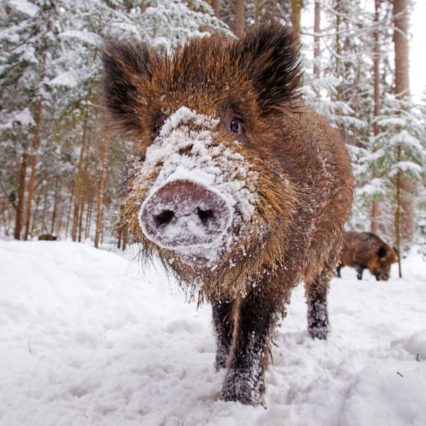 Villisika myllää maata kesät talvet. Samaa tonkimisen halua kantaa karsinassa kasvava kesypossu.  Kuva: Getty Images