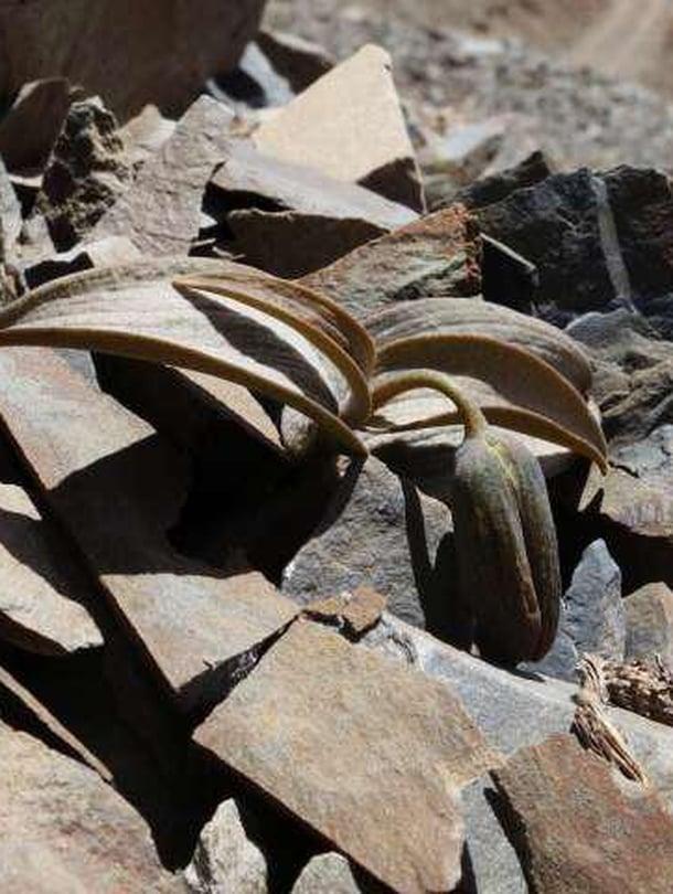 "Pikarililja kätkeytyy kivien sekaan. Kuva: <span class=""photographer"">Yang Niu</span>"