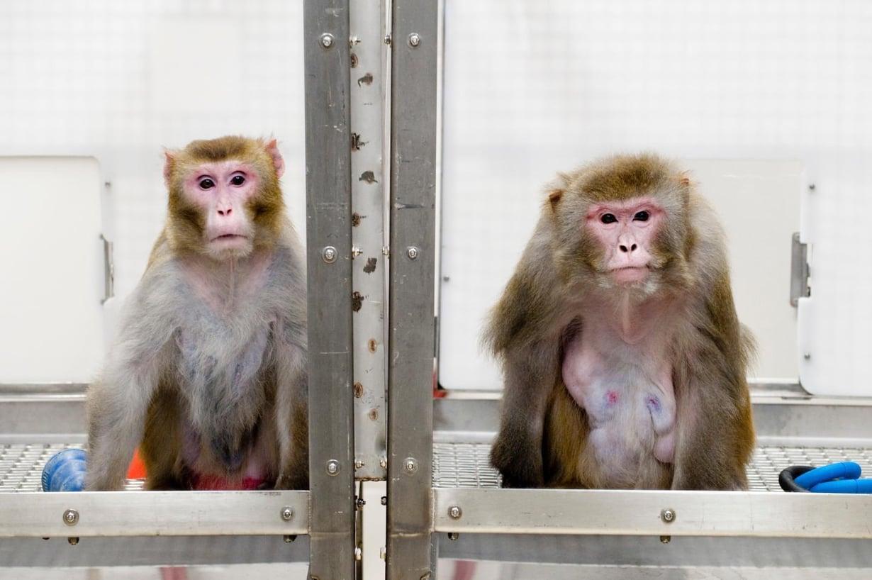 Nämä makakit osallistuivat aikoinaan kalorirajoitustutkimukseen. Vasemmanpuoleinen eli kevyellä dieetillä, oikeanpuoleinen sai syödä mielensä mukaan. Kuva: Jeff Miller/University of Wisconsin-Madison