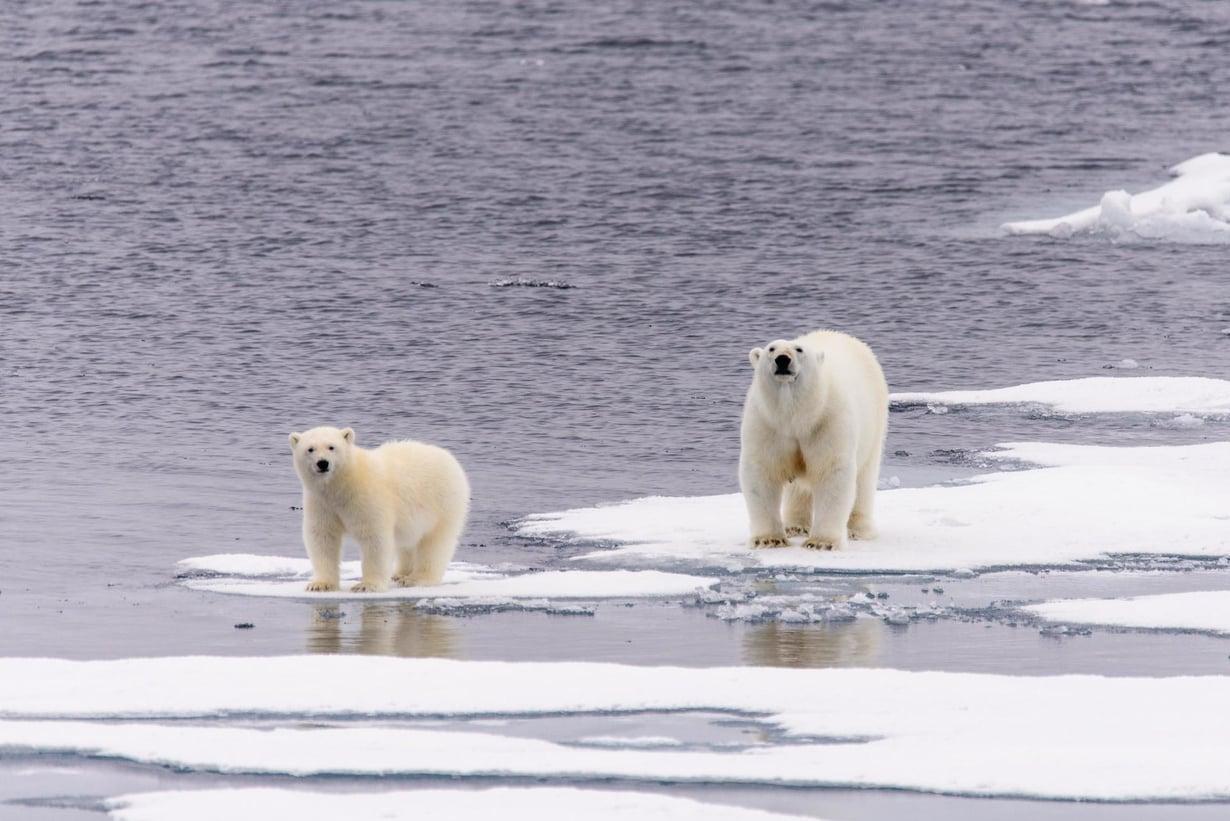 Arktisen alueen jään sulaminen tekee jääkarhujen elämän vaikeaksi. Kuva: Shutterstock