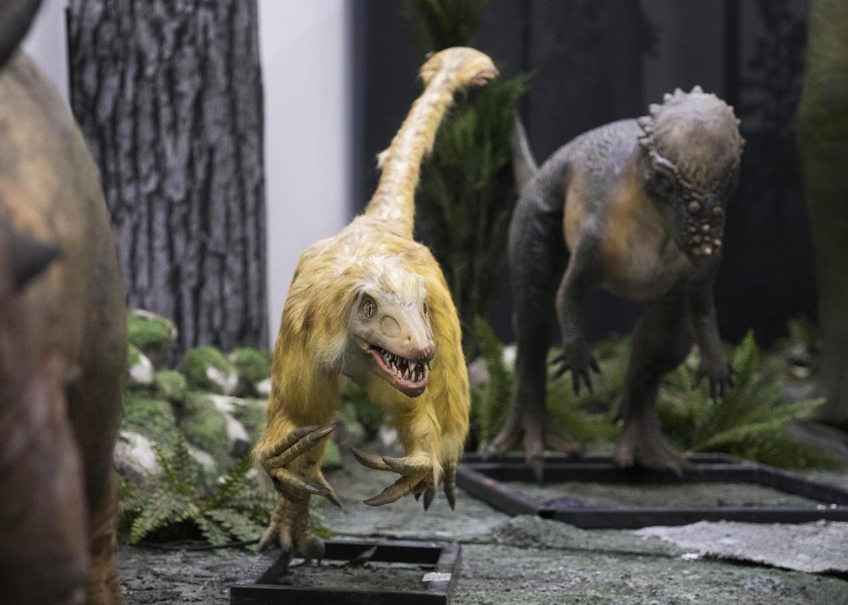 Velociraptor jäi katsojien mieleen Jurassic Park -elokuvasta. Elokuvassa sillä ei ollut höyheniä. Kuva: Aku Isotalo