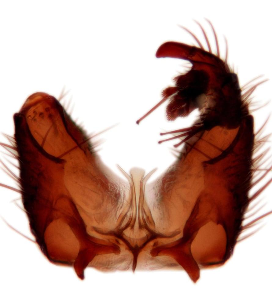"""Yksityiskohta Sciophila holopaineni -koiraan sukupuolielimistä. Niihin perustuu lajin tunnistaminen. Kuva: <span class=""""photographer"""">Levente-Péter Kolcsár</span>"""