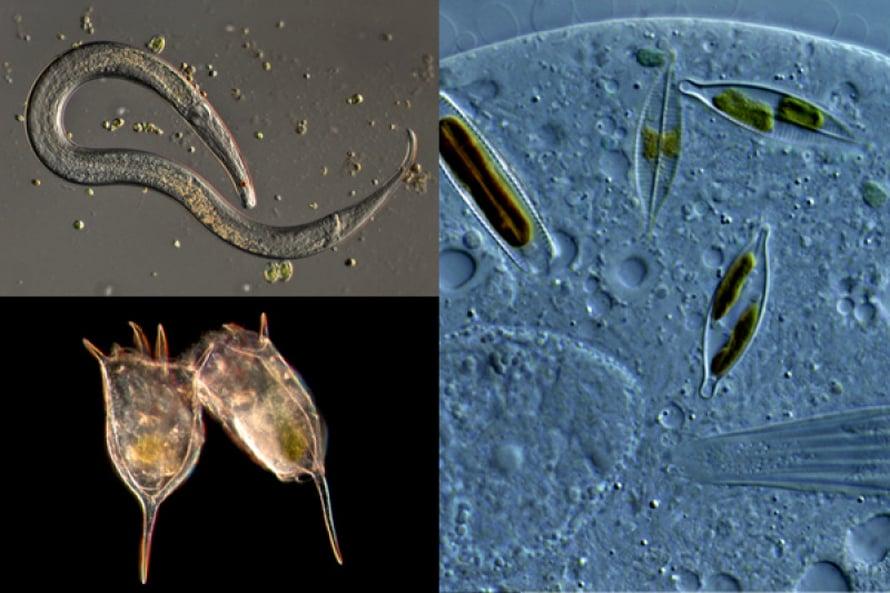 Vasemmalla ylhäällä: Sukkulamato on luikerrellut rannan leväkasvuston seasta mikroskoopin alle. Vasemmalla alhaalla: Rataseläin Keratella cochlearis saa piikeistään suojaa saalistajia vastaan.  Oikealla: Ripsieläin Trithigmostoma on hotkaissut sisäänsä tukun piileviä.