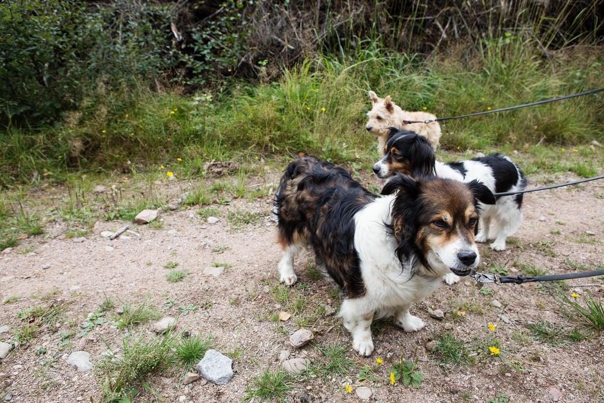 Koiran kyky matkia näkemäänsä on sentään huippua. Kuva: Anni Kössi