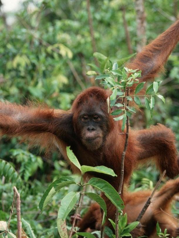 Borneonoranki on yksi kolmesta orankilajissa. Kuva; Wothe K / Zuma