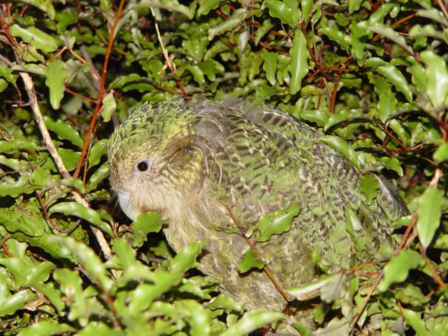 """Kauneudella ja naamioitumisella on yhteinen evoluutiohistoria. Kuvassa suojavärityksellään lehvistöön sopeutunut kakapo. Kuva: <span class=""""photographer"""">Wikimedia Commons.</span>"""