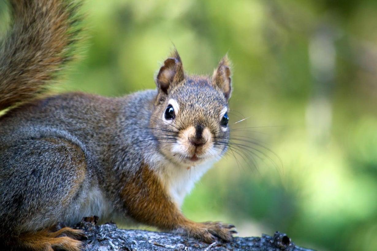 Stressitön orava elättää terveellisempää mikrobikantaa. Kuva: Ryan Taylor / University of Guelph