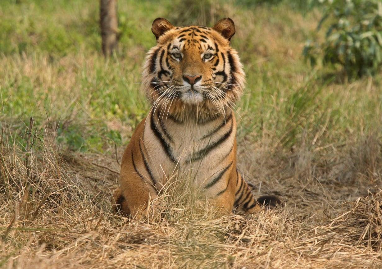 Intiantiikeri Jaldaparassa sijaitsevassa tiikereiden suojelukeskuksessa vuonna 2010. Kuva: Rupak De Chowdhuri / Reuters
