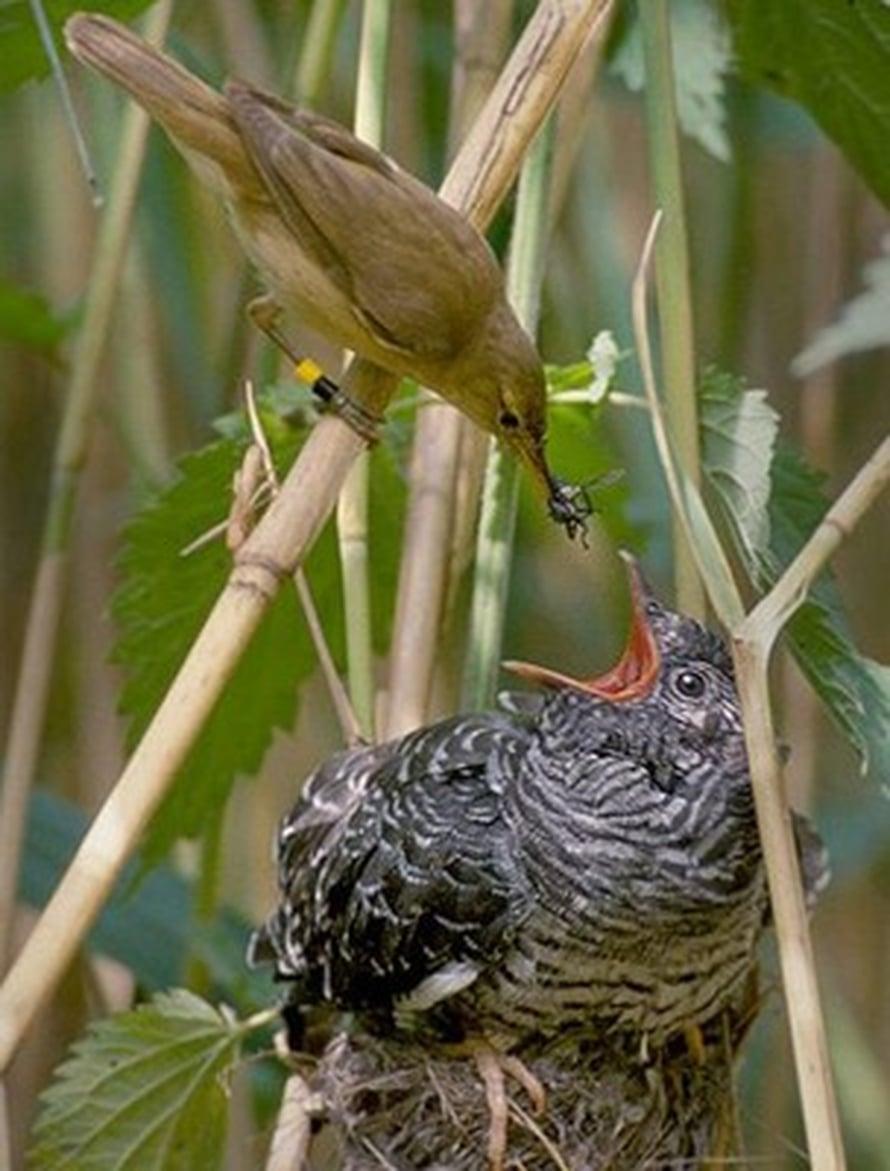 """Rytikerttunen ruokkii käenpoikasta. Kuva: <span class=""""photographer""""><A HREF=http://en.wikipedia.org/wiki/File:Reed_warbler_cuckoo.jpg>Wikimedia Commons</A>.</span>"""